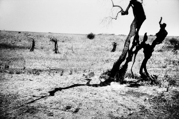 What remains of a field of olive trees in Parabite, near Gallipoli, the centre of the xylella epidemic. The trees were burnt in the attempt to prevent the further spread of the pest that causes the trees quick decline syndrome.