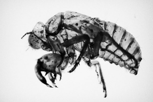 The insects belonging to the Rhynchota families like the Cicada (pictured) or the Cercopoidea, are believed to be the vectors of the disease of xylella. They feed on contaminated xylem sap contracting the bacteria which is then transmitted to the next tree.
